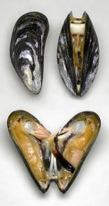 220px Miesmuscheln 2 159x300 Seafood: New threat to aquaculture of marine mussels ... and cultural heritage of Europe